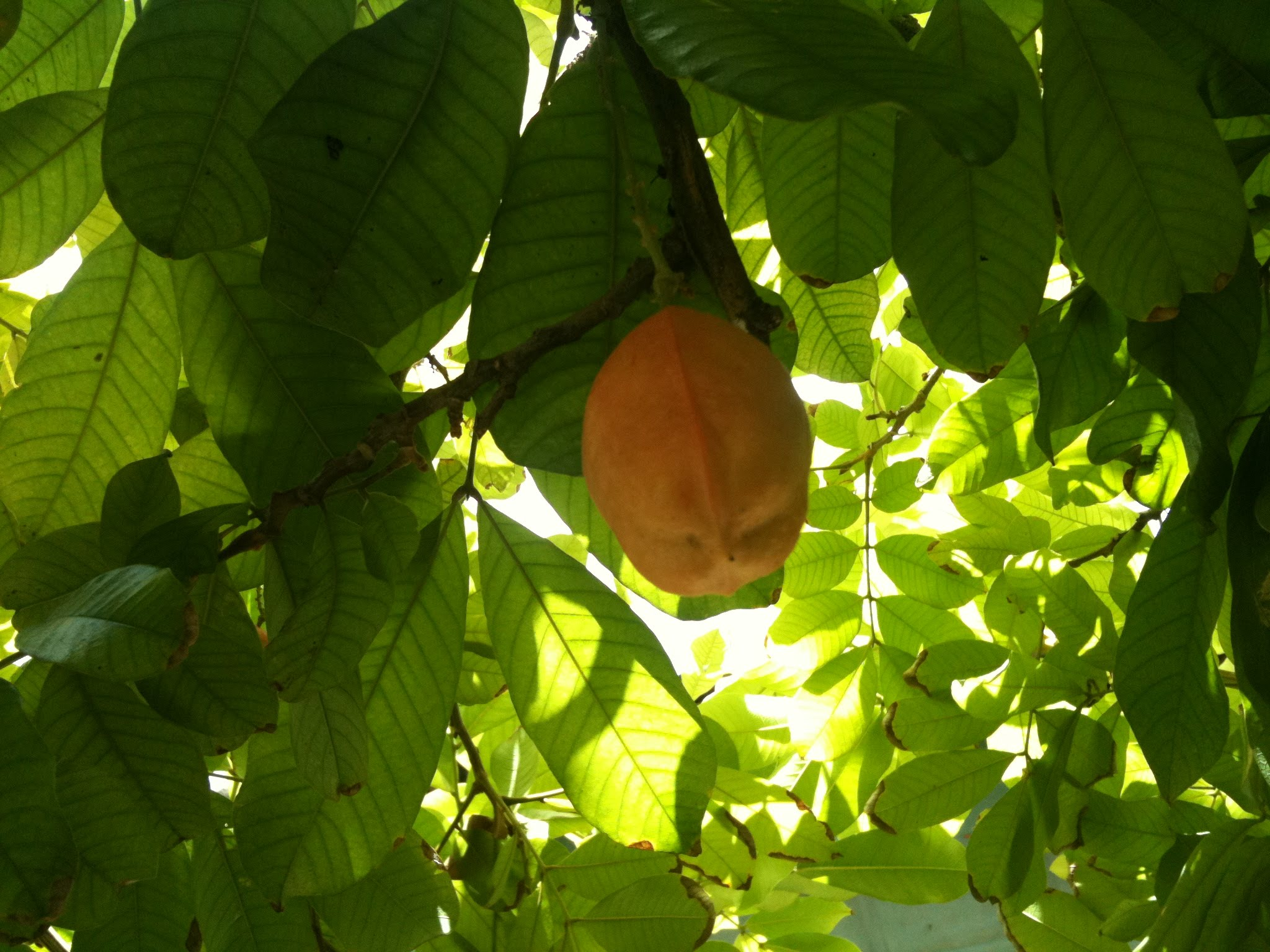 An orange grows ripe on the underside of a brilliant green canopy