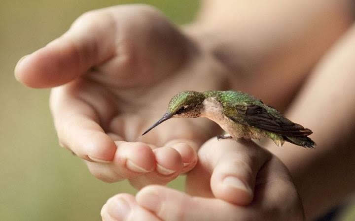 A hummingbird cupped gently in a person's hands